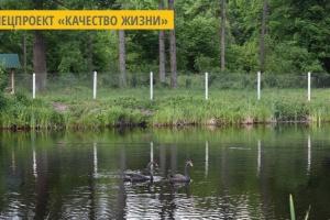 В Городницком лесхозе на Житомирщине появилась пара черных лебедей