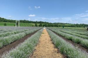 На Буковине для посетителей открыли лавандовое поле площадью 1,5 гектара