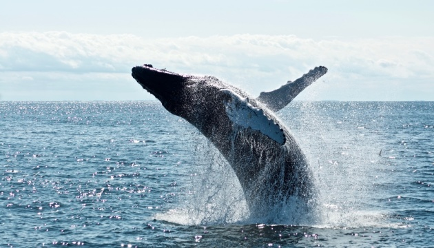 В Австралії вперше зняли величезну групу китів, які показали «бульбашкову сітку»