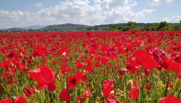 «Красивый сорняк»: в Мукачево перепахали маковое поле