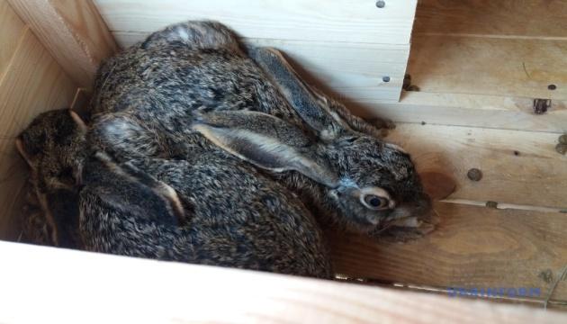 Майбутні фазани і зайці-русаки житомирських лісів