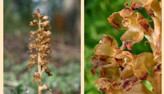 На Житомирщині розквітла червонокнижна лісова орхідея