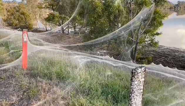 В Австралії мільйони павуків рятувалися від повені і влаштували «апокаліпсис»