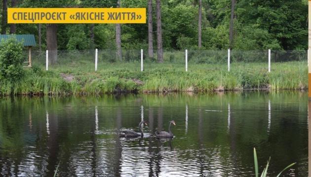 У Городницькому лісгоспі на Житомирщині з'явилася пара чорних лебедів