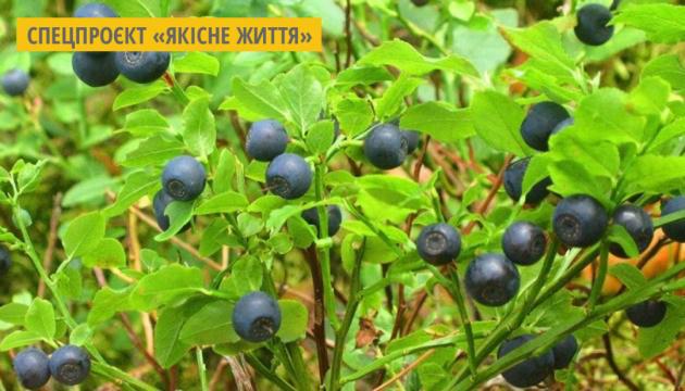 На Житомирщині розпочався сезон чорниці