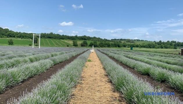 На Буковині для відвідувачів відкрили лавандове поле площею 1,5 гектара