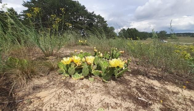 В Україні серед лісу квітнуть кактуси, вчені попереджають про небезпеку