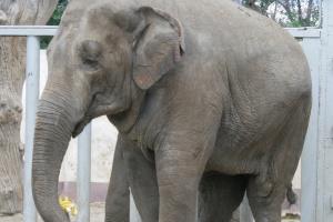 В Харьковском зоопарке умерла слониха Тэнди