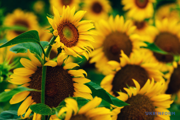 Sunflower harvest may exceed 15M tonnes this year - UCAB