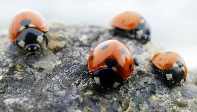 На півдні України — нашестя жуків-сонечок через кліматичні зміни