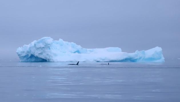 До антарктичної станції «Академік Вернадський» припливли дві косатки