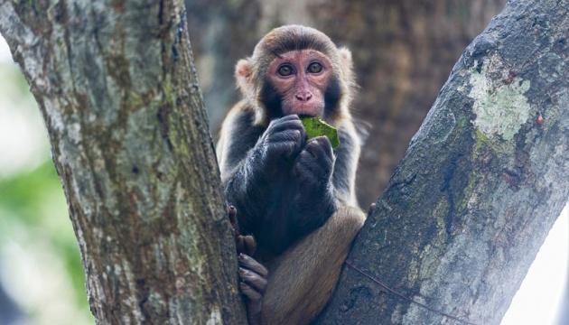 У Китаї людина вперше померла від вірусу мавп