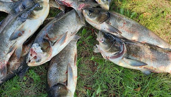 Біля греблі ДніпроГЕС зафіксували масову загибель риби