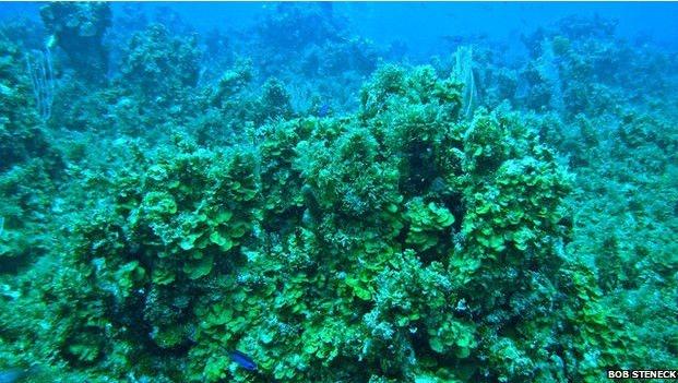 Кораблі заразили смертельною інфекцією корали на Карибах