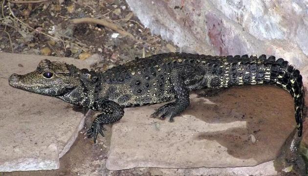 Чеська поліція розшукує молодого крокодила-утікача
