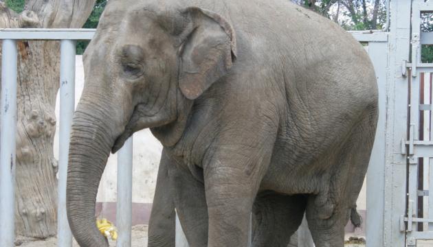 У Харківському зоопарку померла слониха Тенді