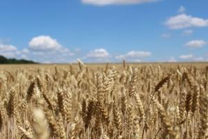 Агрохолдинг KSG Agro завершает уборку зерновых