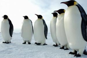 Из-за таяния ледников 98% колоний императорских пингвинов могут исчезнуть к 2100 году