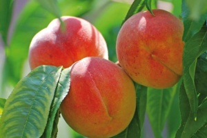 Площа персикових садів скоротилася в Україні на 21%