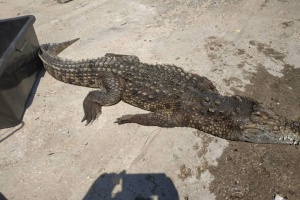 Крокодила-утікача на Арабатській Стрілці витягли з води вже мертвим