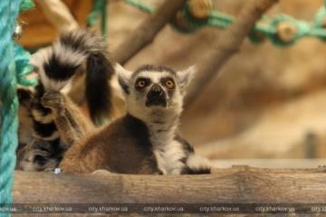 """Lémures de cola anillada """"se instalan"""" en el parque zoológico de Járkiv"""