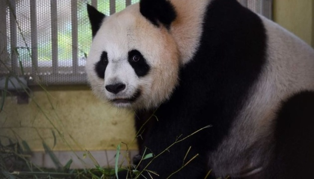 У Франції панда народила двійню