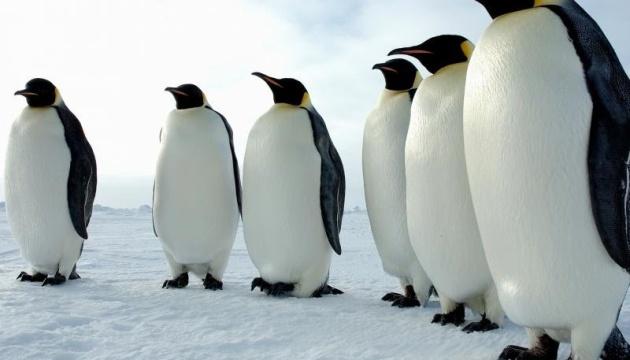 Через танення льодовиків 98% колоній імператорських пінгвінів можуть зникнути до 2100 року