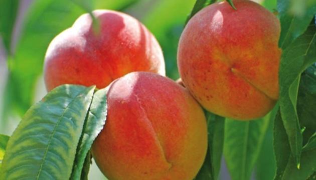 Площадь персиковых садов сократилась в Украине на 21%