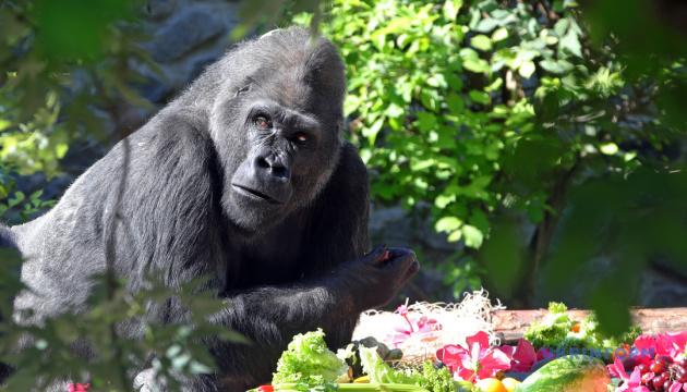 Парадна репетиція, скандальний дрифт і горила-довгожитель