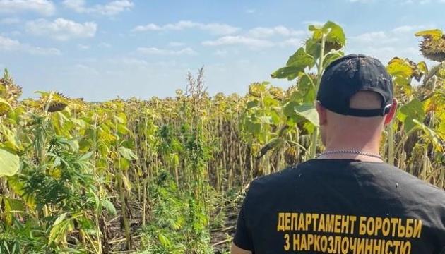 На Дніпропетровщині поліція знайшла серед соняшників тисячі кущів конопель