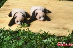 Зоопарк в Китае показал панд-близнецов, родившихся 100 дней назад