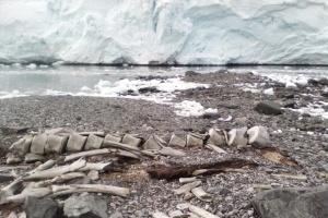 Плавав ще за вікінгів: вчені визначили вік кита, скелет якого знайшли українські полярники