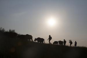 Фільм про рідкісних карпатських буйволів вийде на великі екрани у жовтні