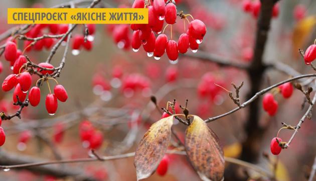 На Закарпатті збирають кизил з найбільшої плантації в Україні