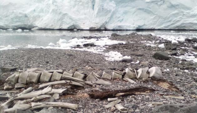 Плавал еще при викингах: ученые назвали возраст кита, скелет которого нашли украинские полярники