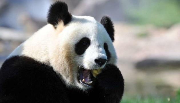 У китайському зоопарку велика панда народила різностатевих близнюків