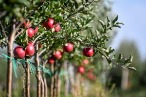 Яблуневі сади на Вінниччині можуть викорчувати на близько 3 тисячах гектарів