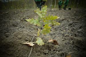 На Житомирщине за день высадили миллион деревьев