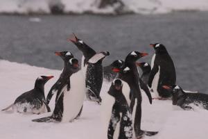 Залицяються та б'ються: у пінгвінів біля «Вернадського» - шлюбний сезон