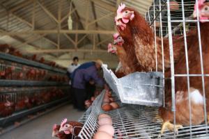 У Китаї поширюється новий штам пташиного грипу, що має високу смертність