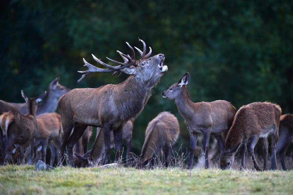 Ciervos rojos en la reserva checa / Foto: CTK Photo / Ukrinform
